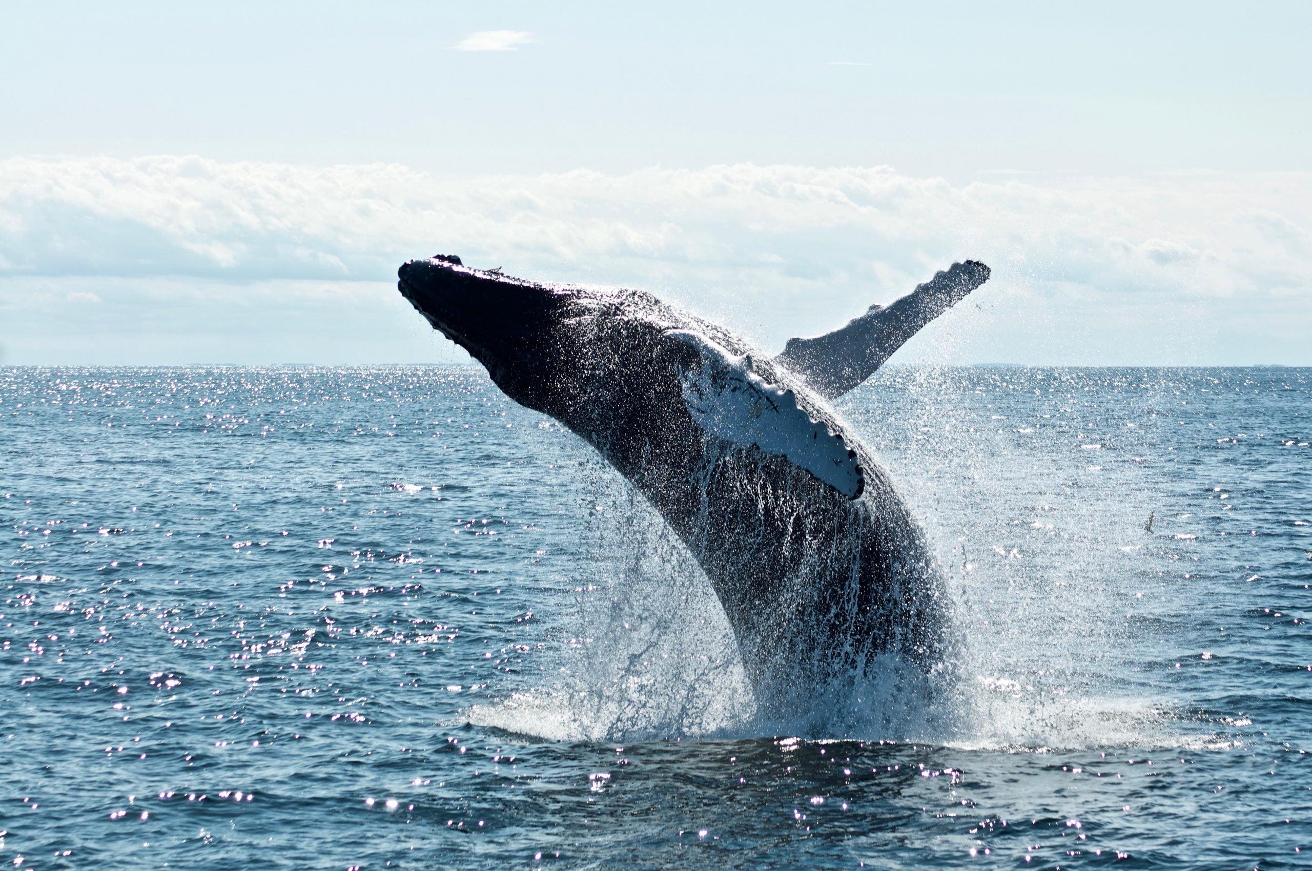 El indicador muestra que la presión de venta de ballenas sobre Bitcoin está creciendo;  Lo que esto significa