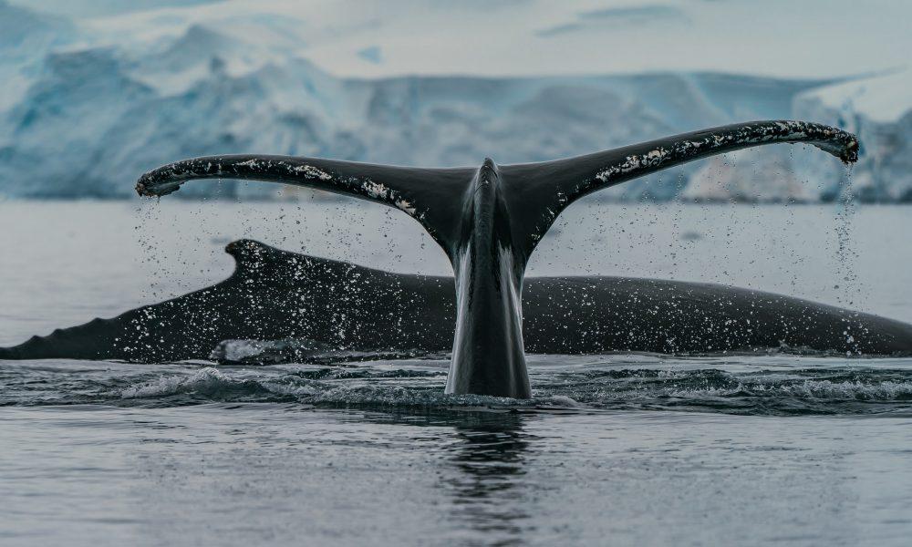 ¿Cambiarán las mareas a medida que las ballenas Ethereum aumenten en número?