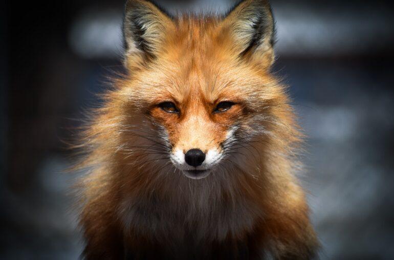 ShapeShift, a fox stares at the camera